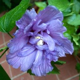 2-Purple-Lilac